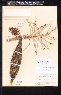 Image of Desmoncus isthmius