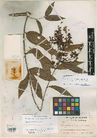 Tetrapterys styloptera image