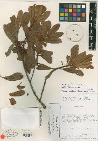 Myrsine coriacea image