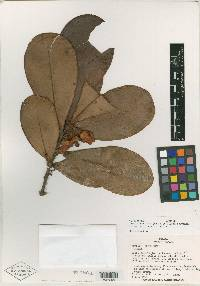 Image of Clusia cupulata