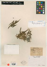 Maxillaria strumata image