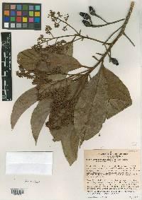 Image of Ocotea hartshorniana