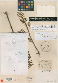 Image of Maxillaria dendrobioides