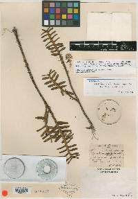 Maxillaria dendrobioides image