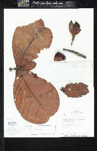 Image of Tovomita morii