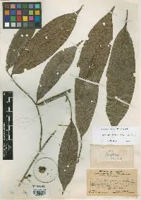 Duguetia panamensis image