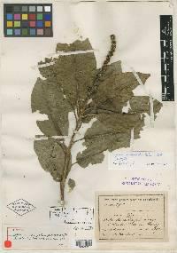 Sapium pachystachys image
