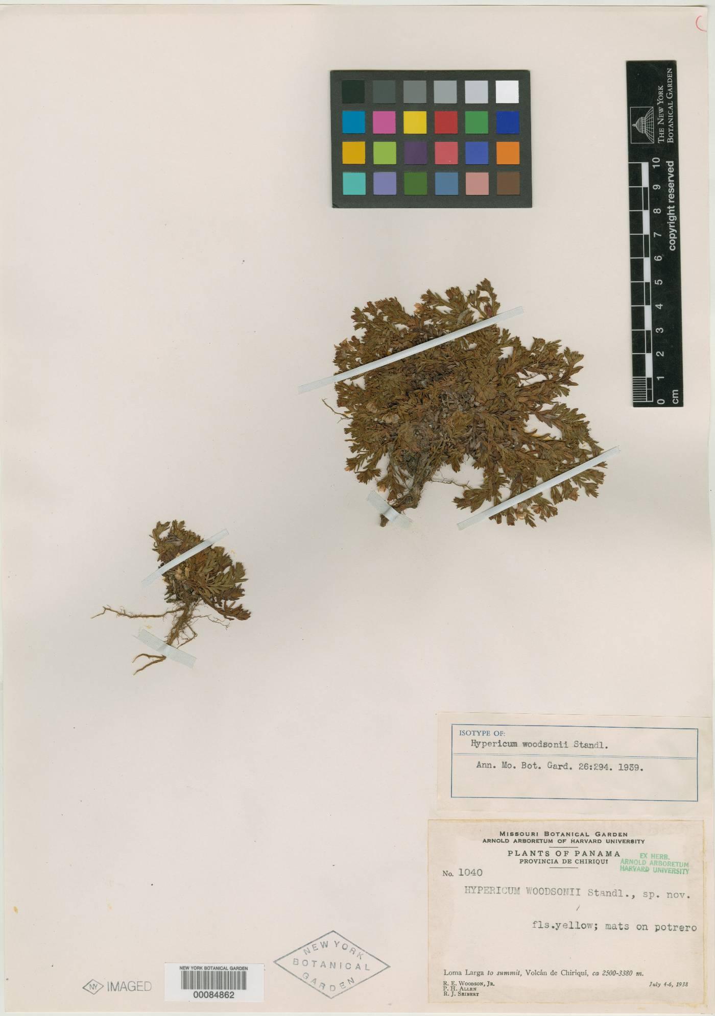 Hypericum gnidioides image
