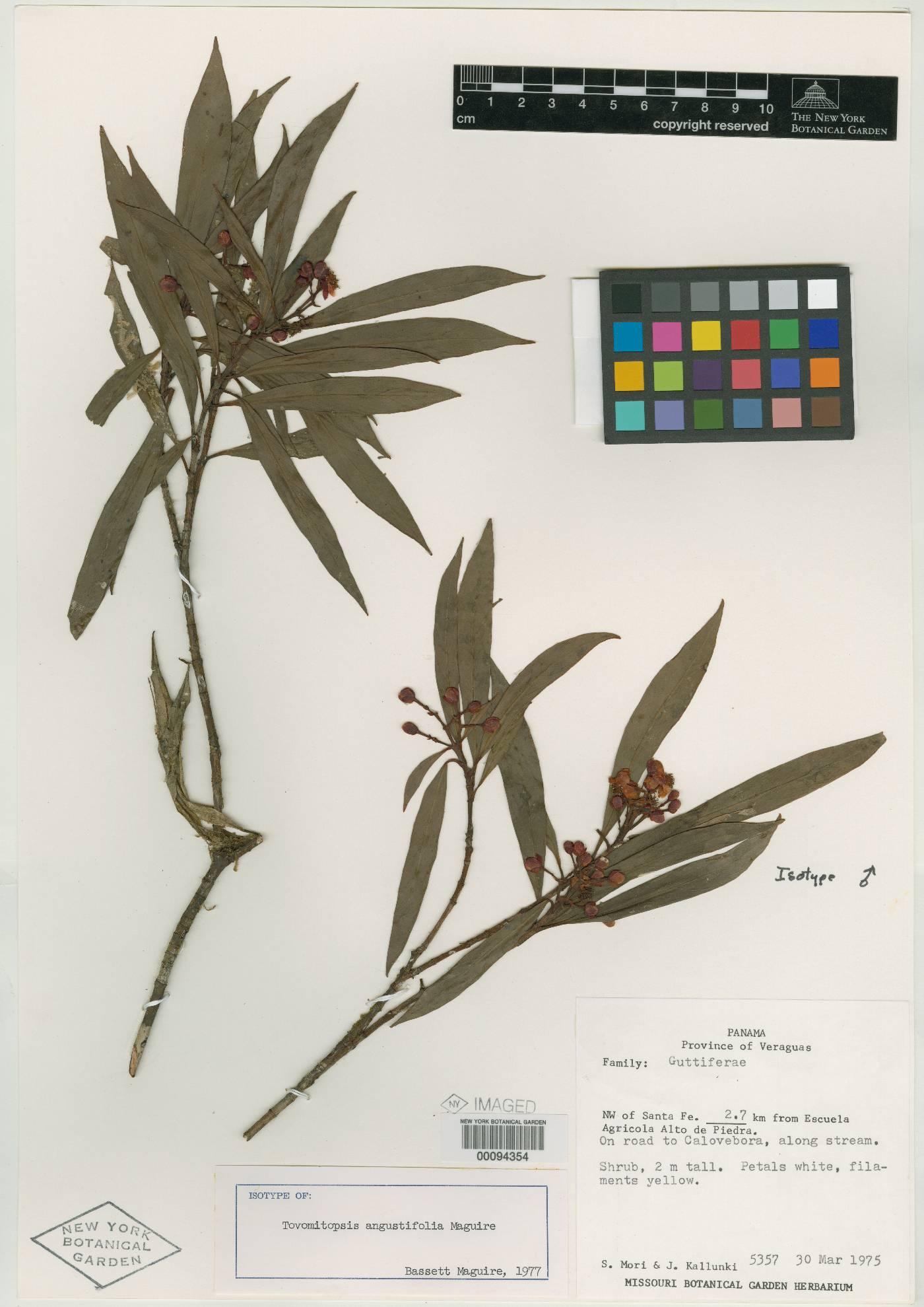 Chrysochlamys angustifolia image