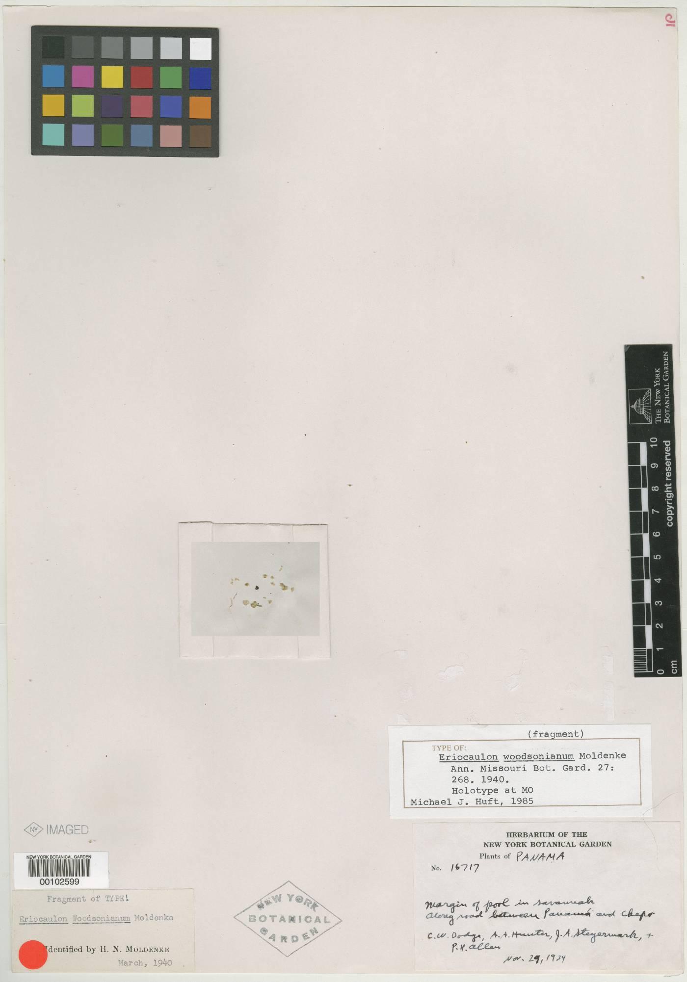 Eriocaulon woodsonianum image