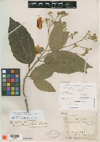Macrohasseltia macroterantha image