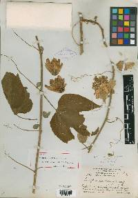 Passiflora williamsii image