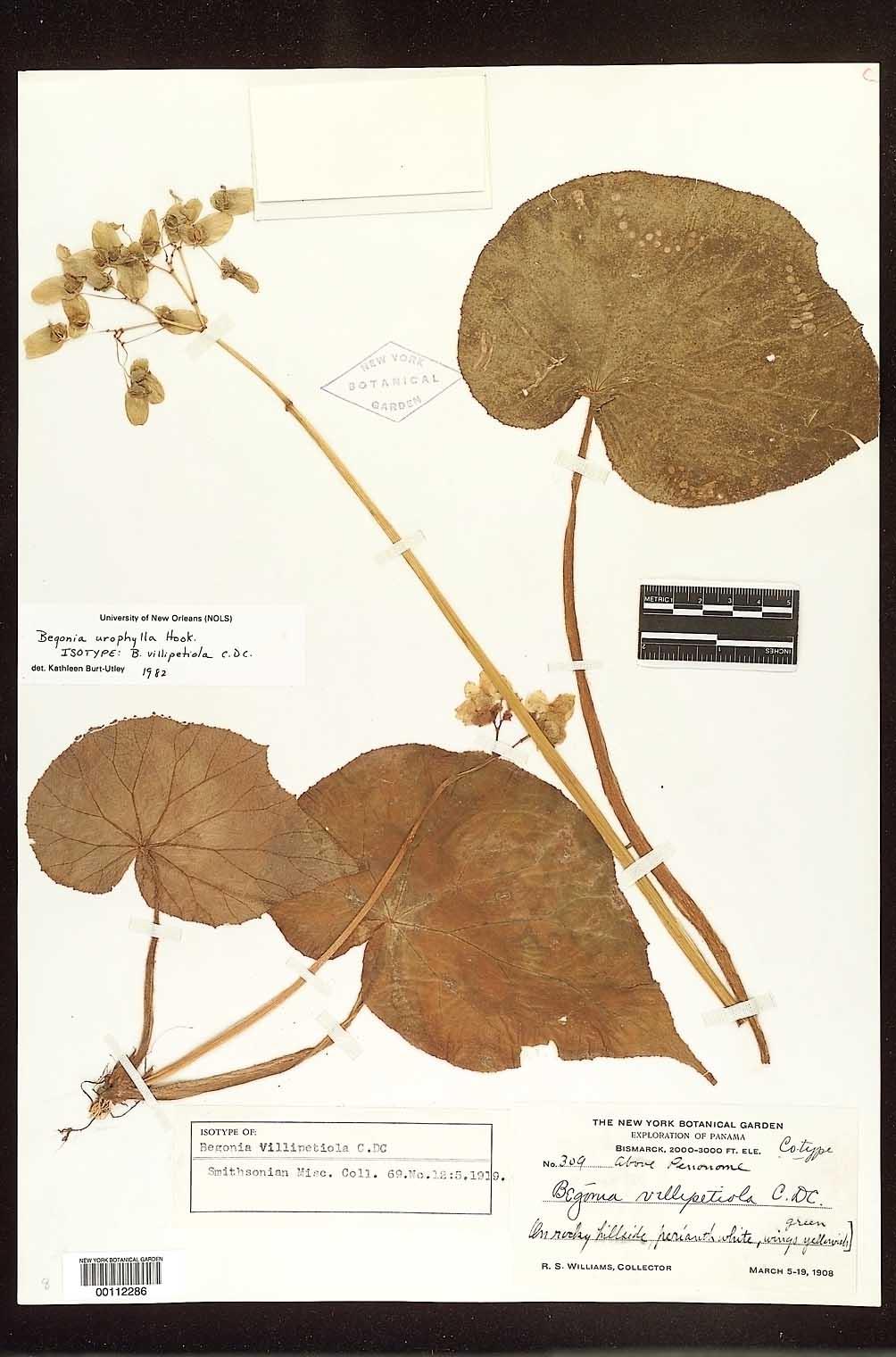 Begonia urophylla image