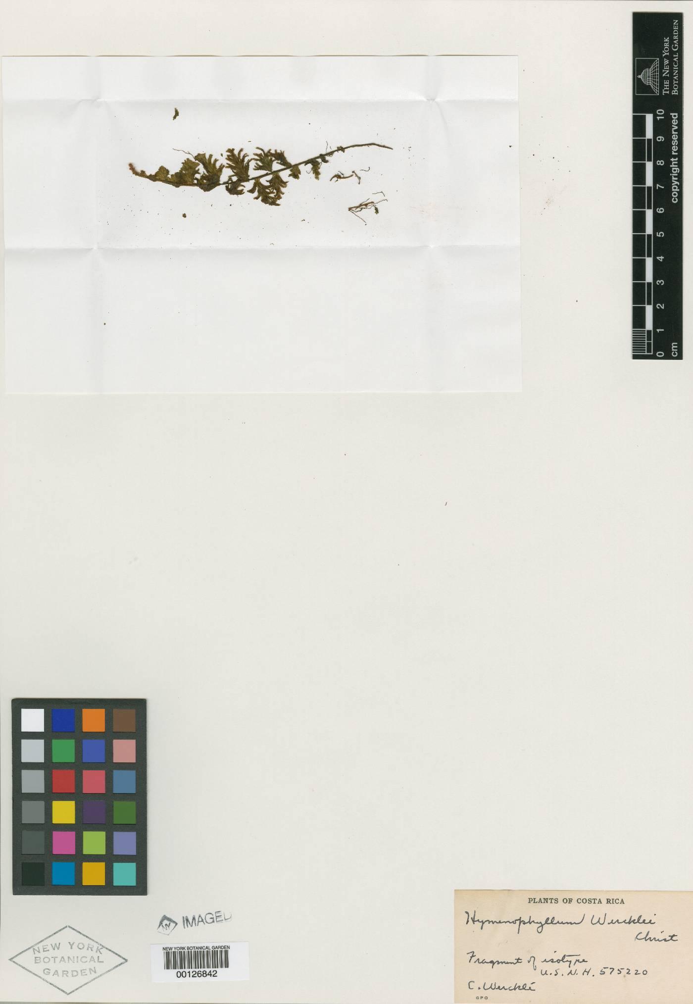 Hymenophyllum sieberi image