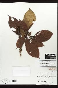 Amaioua pedicellata image