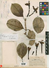 Cosmibuena grandiflora image