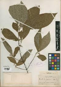 Guettarda foliacea image