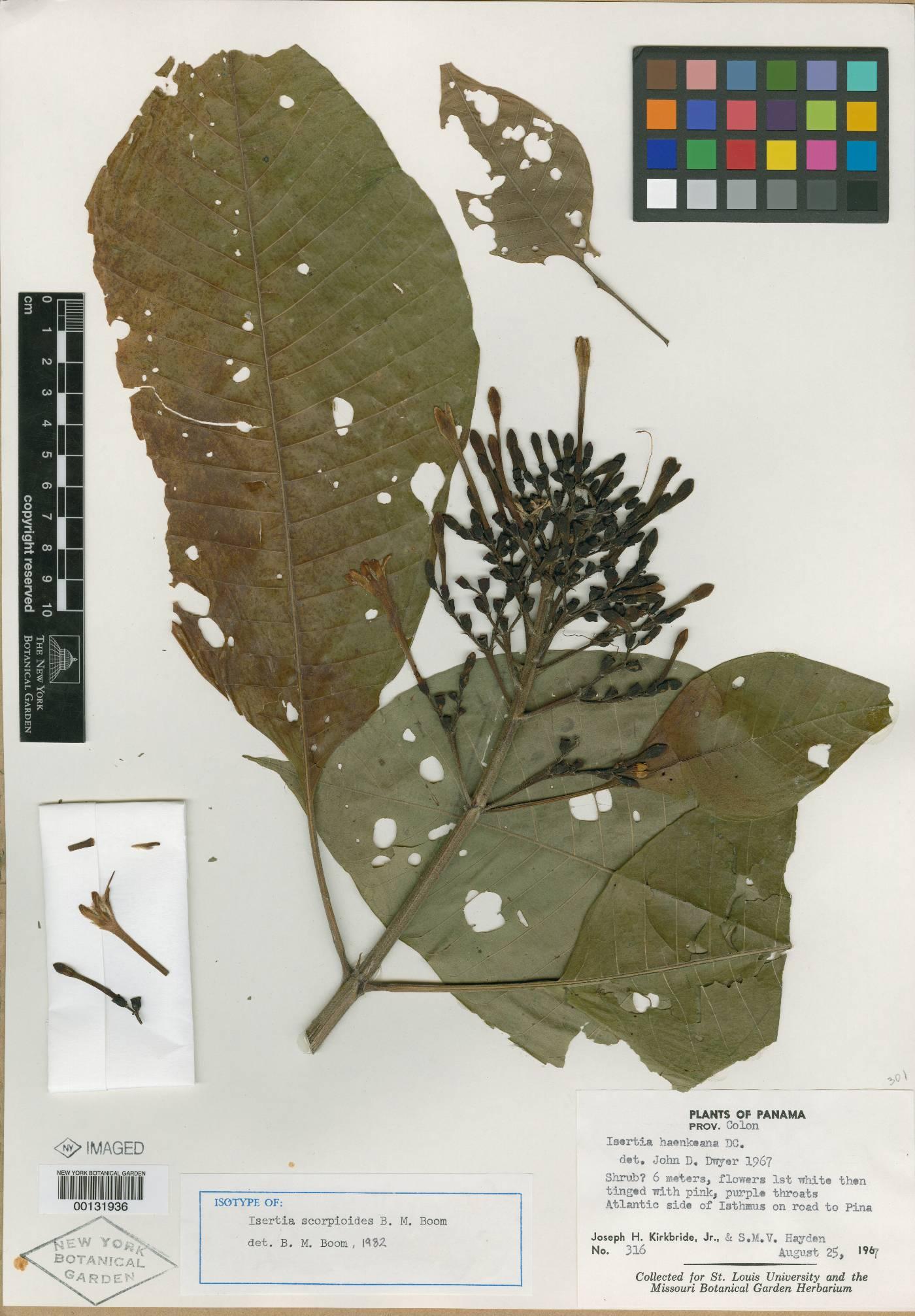 Isertia scorpioides image