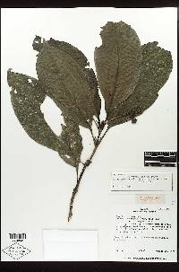 Psychotria gentryi image