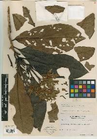 Ladenbergia brenesii image