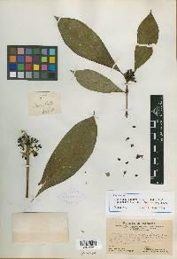 Psychotria cooperi image