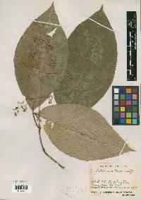 Image of Psychotria angustiflora