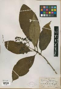 Psychotria mortoniana image