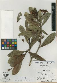 Psychotria olgae image
