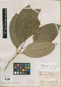 Psychotria solitudinum image