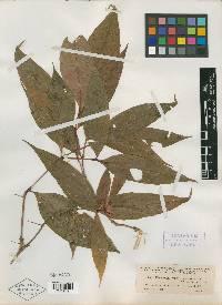Psychotria suerrensis image