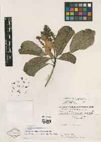 Wittmackanthus stanleyanus image