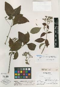 Rondeletia hameliifolia image