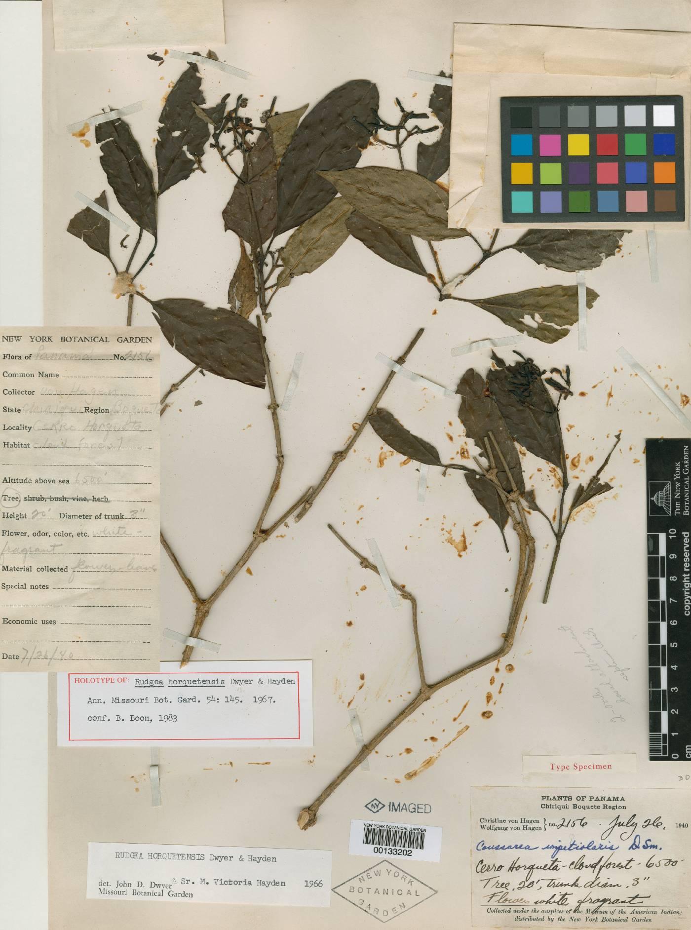 Rudgea horquetensis image