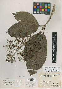 Rustia costaricensis image