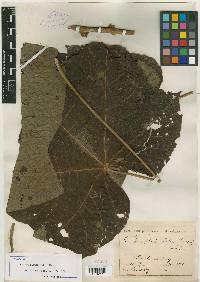 Hampea platanifolia image