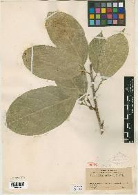 Quararibea asterolepis image