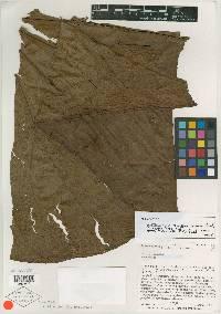 Anthurium antonioanum image