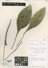 Anthurium bicollectivum image