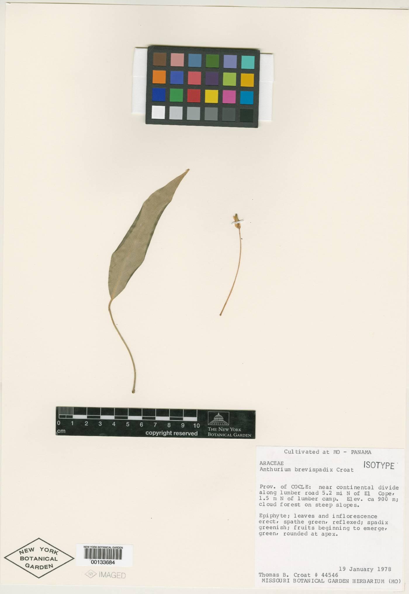 Anthurium brevispadix image