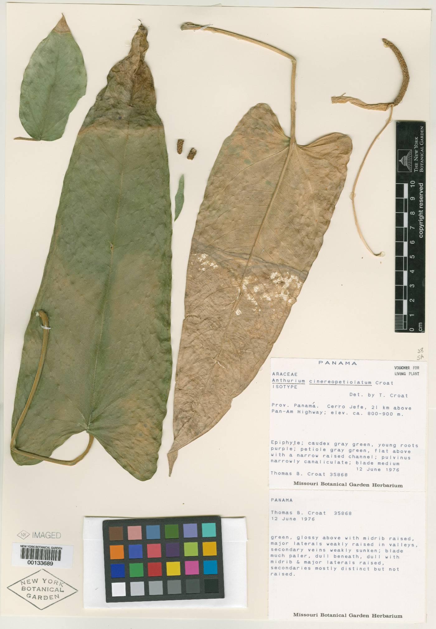 Anthurium cinereopetiolatum image
