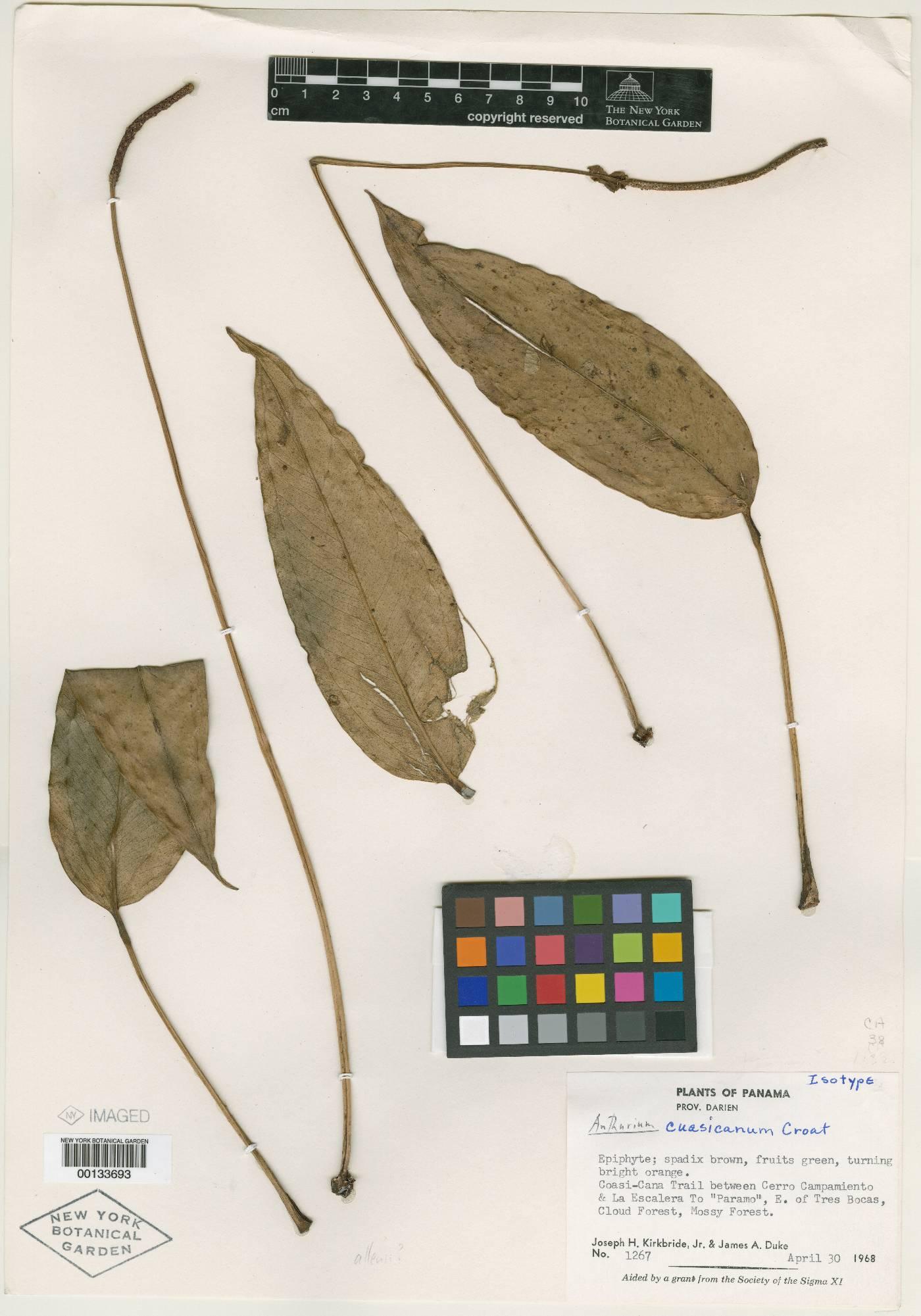 Anthurium cuasicanum image