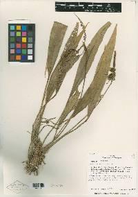 Anthurium rupicola image