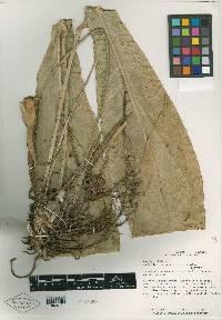 Anthurium seibertii image