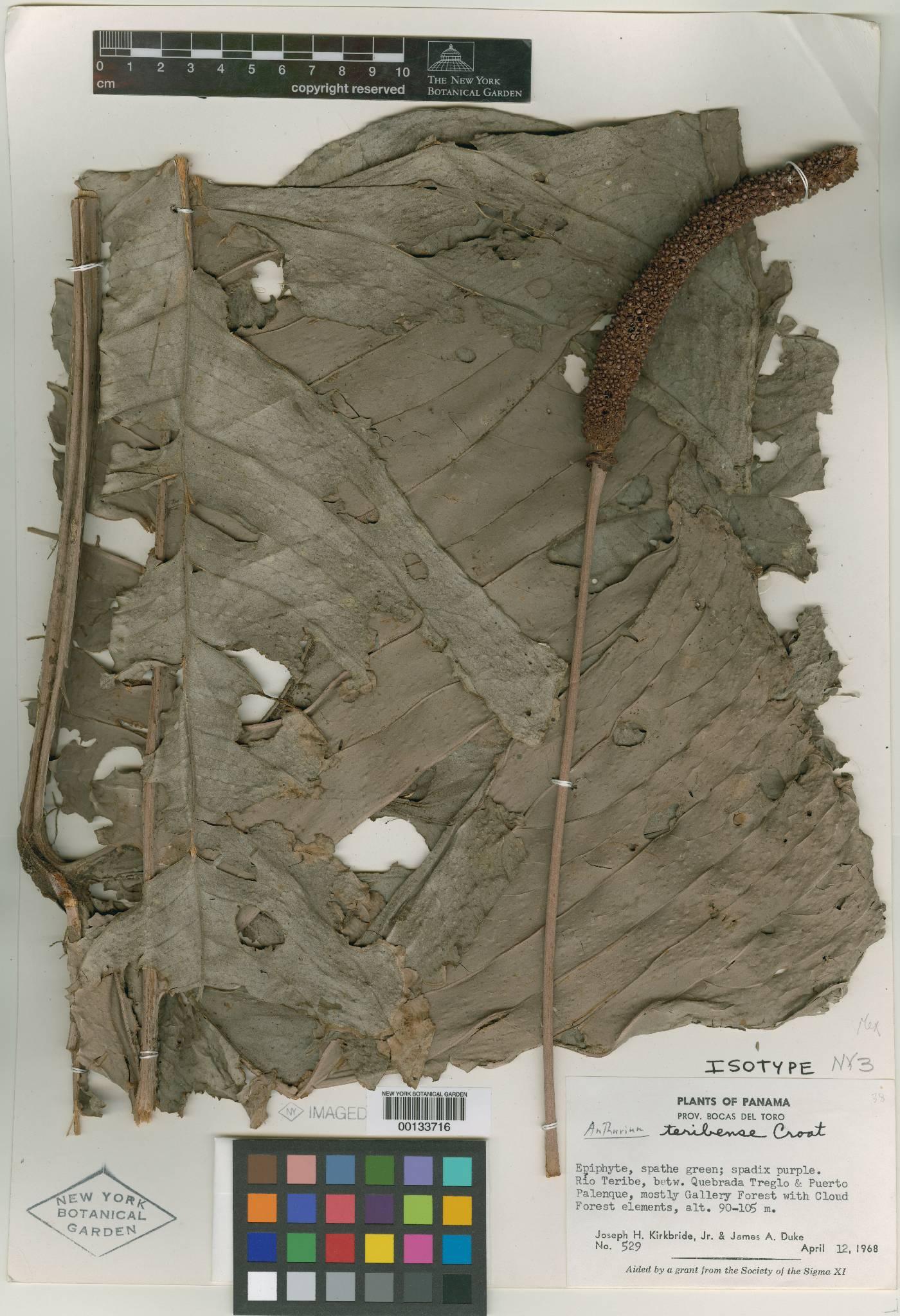 Anthurium teribense image
