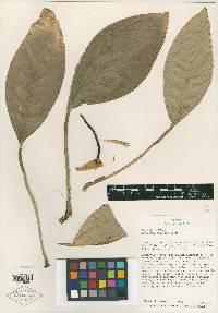 Anthurium vallense image