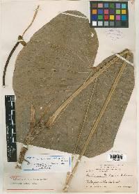 Anthurium propinquum image