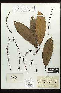 Stachyarrhena heterochroa image