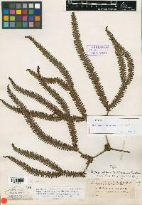 Image of Sticherus revolutus