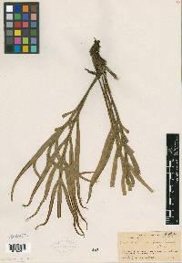 Image of Eschatogramme panamensis