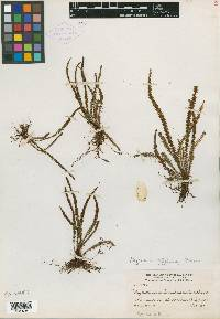 Moranopteris taenifolia image
